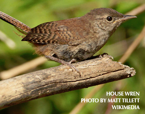 How to Appease House Wrens