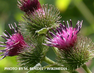 Beware of Burdock