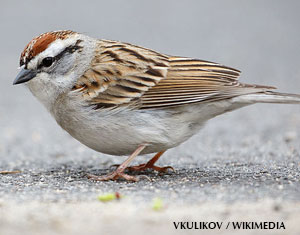 All About Chipping Sparrows