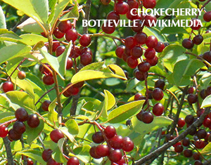 Chokecherry Is for the Birds