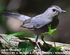 Gray Catbird: Some Bird Names are Just Perfect