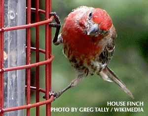 A House Finch with Puffy Eyes is at My Birdfeeder. What Should I Do?