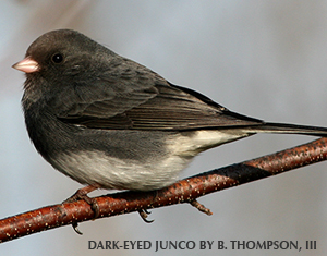Junco Facts You Might Not Know