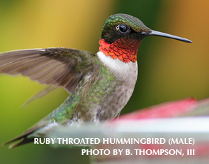 Ask Birdsquatch: Weaning Hummingbirds from the Feeder?