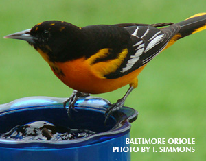 Ask Birdsquatch: Is Grape Jelly Harmful to Orioles?