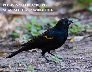 A Yellow-winged Blackbird?