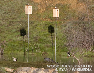 Ask Birdsquatch: Wood Duck Boxes